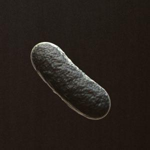 Bacillus Bacteria 3D Model