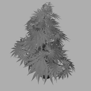 cannabis-3d-model-sativa-8