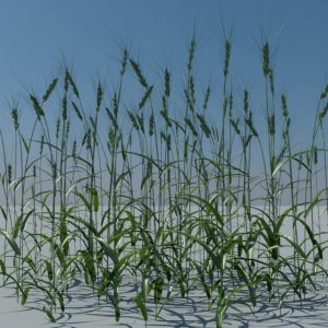 wheat-3d-model-durum-1
