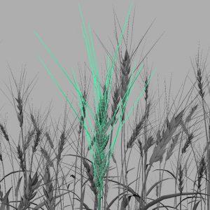 wheat-3d-model-durum-11