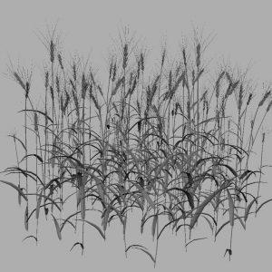 wheat-3d-model-durum-12