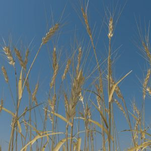 wheat-3d-model-durum-3