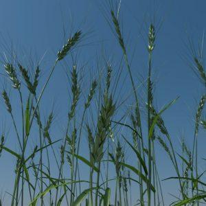 wheat-3d-model-durum-4