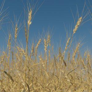 wheat-3d-model-durum-7