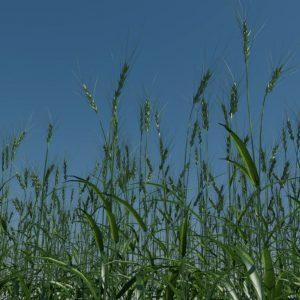 wheat-3d-model-durum-9
