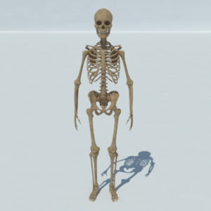 human-skeleton-3d-model-1