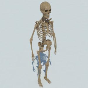 human-skeleton-3d-model-2