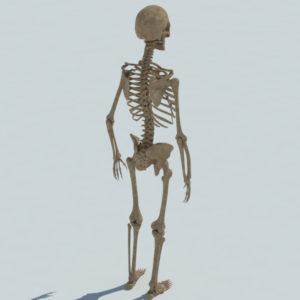 human-skeleton-3d-model-3