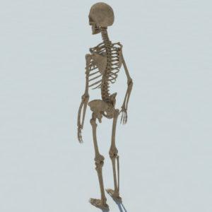 human-skeleton-3d-model-4
