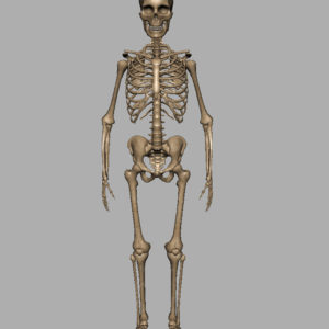 human-skeleton-3d-model-6
