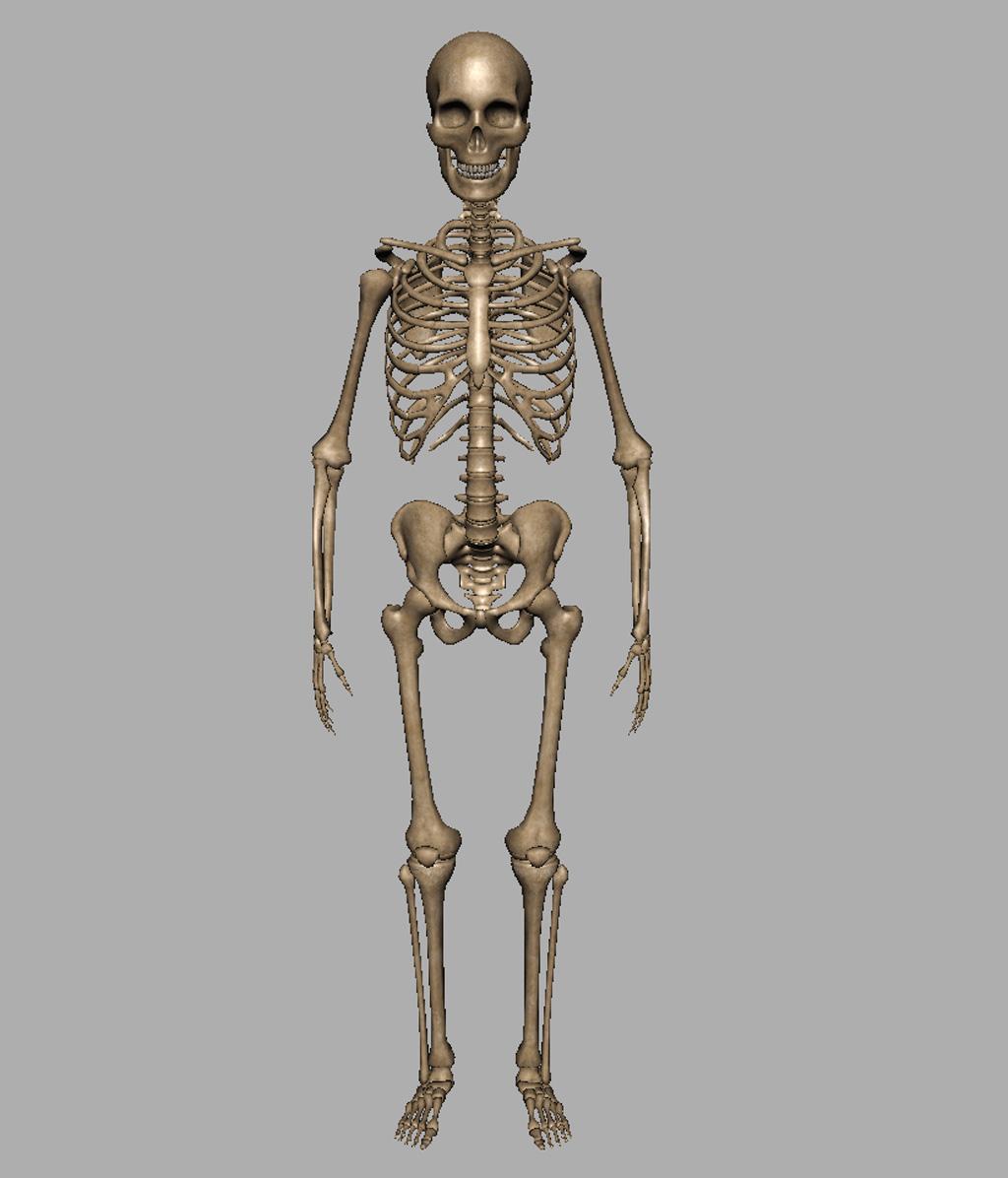 Скелет человека картинки для дошкольников