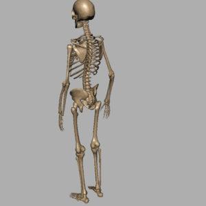 human-skeleton-3d-model-7