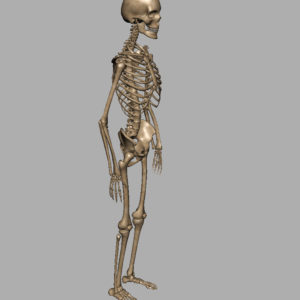 human-skeleton-3d-model-9