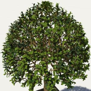 buxus-box-plant-3d-model-tree-4