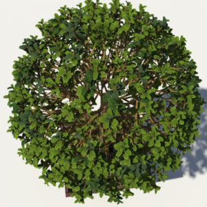 buxus-box-plant-3d-model-tree-6