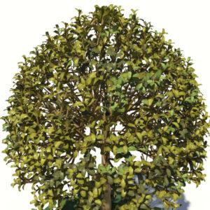 buxus-box-plant-ivy-3d-model-6