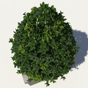 buxus-box-plant-pyramid-3d-model-4