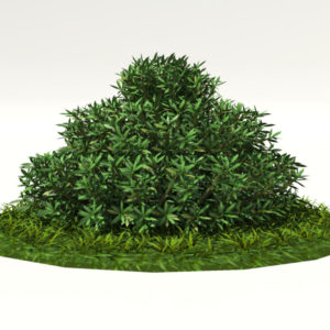 buxus-shrub-long-leaf-3d-model-1