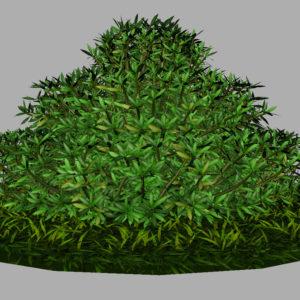 buxus-shrub-long-leaf-3d-model-10