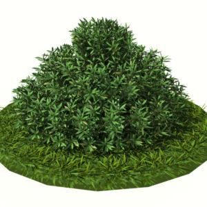 buxus-shrub-long-leaf-3d-model-2