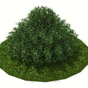 buxus-shrub-long-leaf-3d-model-4