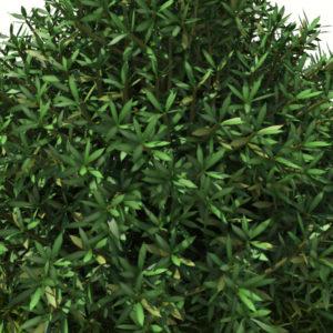 buxus-shrub-long-leaf-3d-model-5