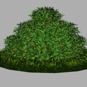 buxus-shrub-long-leaf-3d-model-8