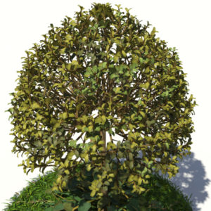 buxus-tree-with-ivy-grass-3d-model-6