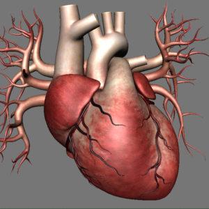 human-heart-3d-model-10