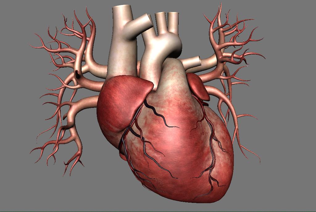Human Heart 3d Model Realtime 3d Models World