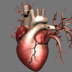 human-heart-3d-model-12