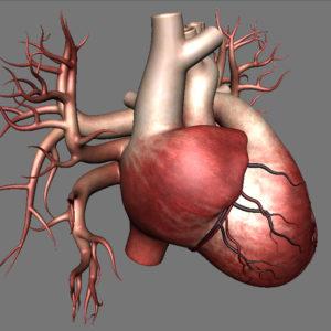 human-heart-3d-model-14