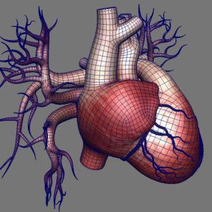 human-heart-3d-model-15