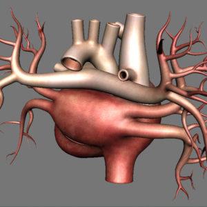 human-heart-3d-model-16