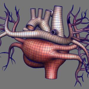 human-heart-3d-model-17