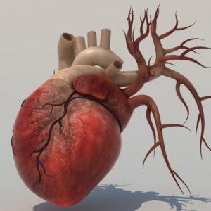human-heart-3d-model-2