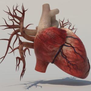 human-heart-3d-model-4