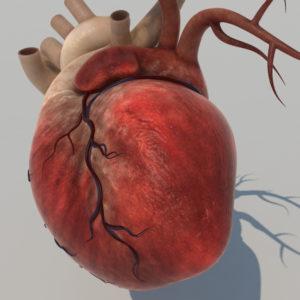 human-heart-3d-model-6