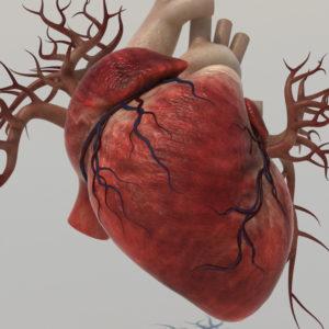 human-heart-3d-model-8