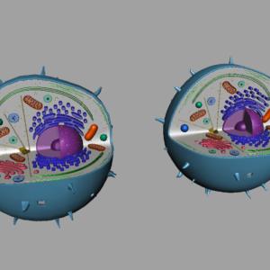 animal-cell-cross-section-3d-model-14