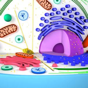 animal-cell-cross-section-3d-model-5