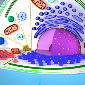 animal-cell-cross-section-3d-model-6